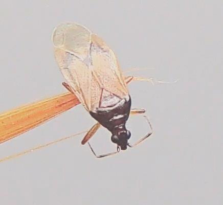 Miniature bug. - Amphiareus obscuriceps