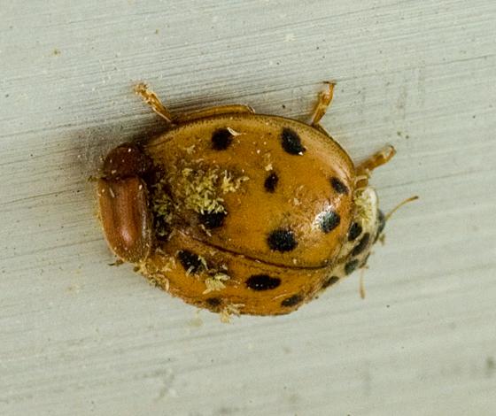 beetle on beetle - Harmonia axyridis