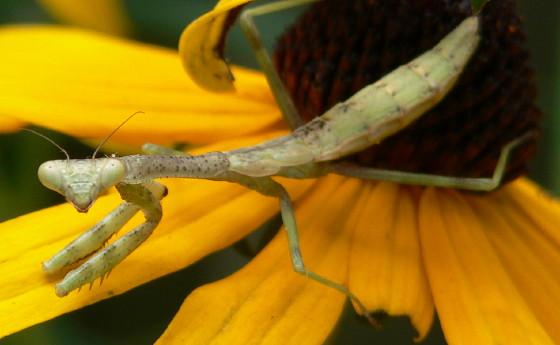 Carolina Mantis nymph - Stagmomantis carolina - female