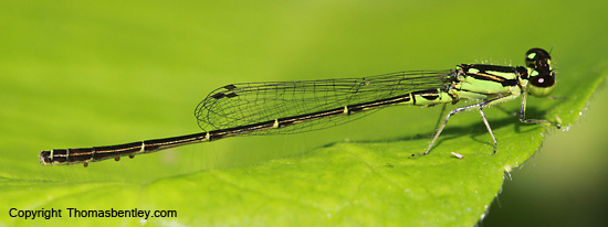 Damselfly - Ischnura posita - male