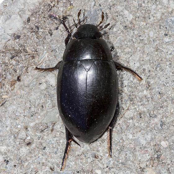 Large Beetle - Hydrophilus ovatus