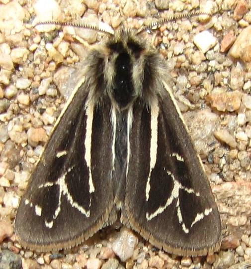Williams' Tiger Moth - Apantesis williamsii