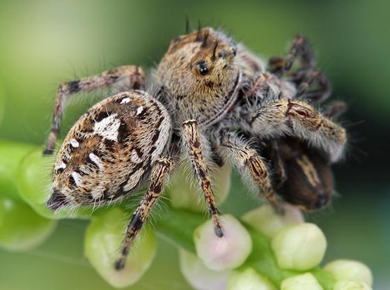 Phidippus putnami - female