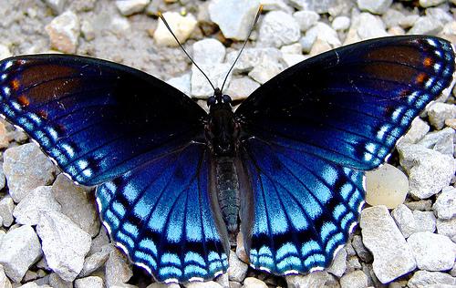 Limenitis Butterfly - Limenitis arthemis