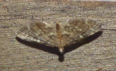 Small Moth - Anageshna primordialis