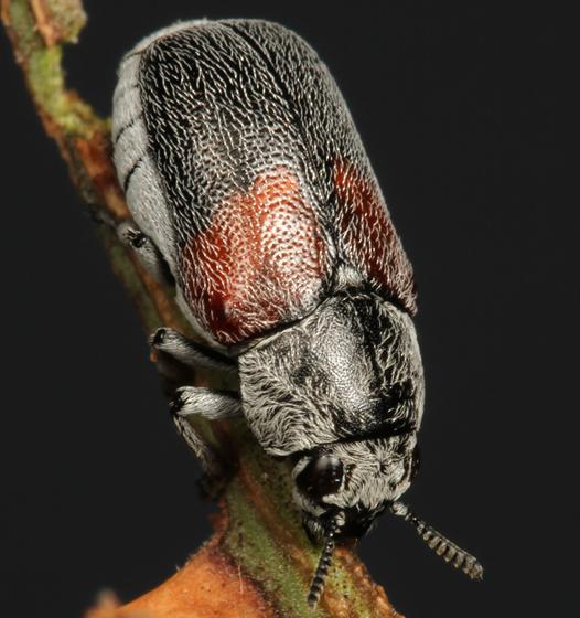leaf beetle - Megalostomis subfasciata