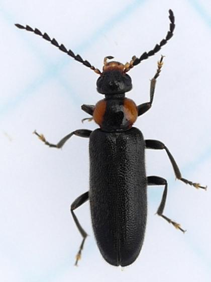 Fire-colored Beetle - Pedilus labiatus - female