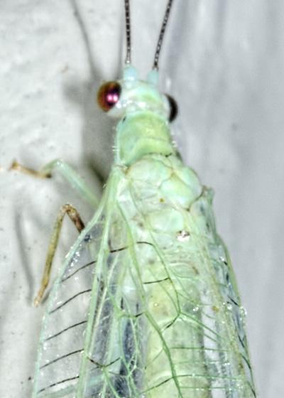 Chrysopa nigricornis? - Chrysopa nigricornis
