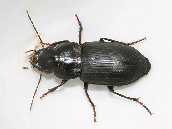 Ground Beetle? - Xestonotus lugubris - female