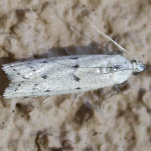 Moth - white with seven spots - Sosipatra rileyella