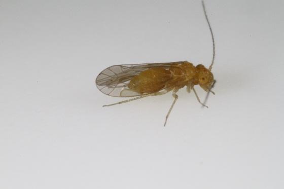 Lachesilla contraforcepeta - male