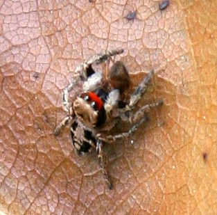 Spider ID Request - Habronattus coecatus