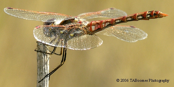 Variegated Meadowhawk - Sympetrum corruptum - male