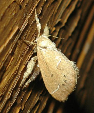 Slug moth? - Adoneta bicaudata