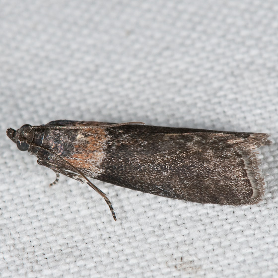 Nephopterix (Sciota) termitalis - Sciota tarmitalis