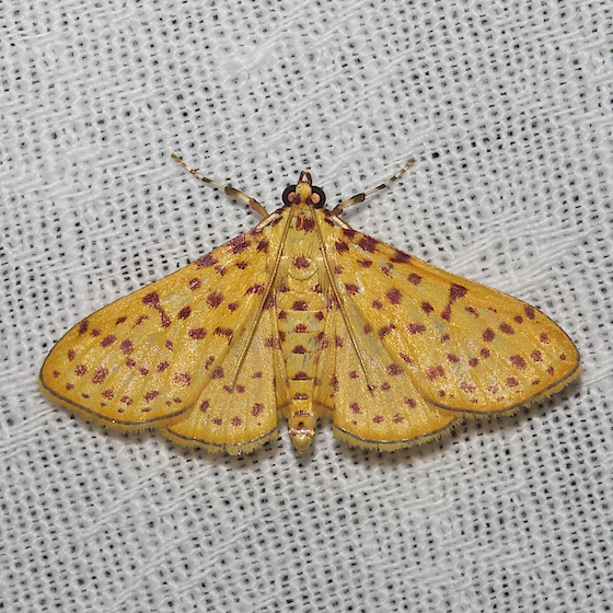 5230 – Red-spotted Sweetpotato Moth - Polygrammodes elevata