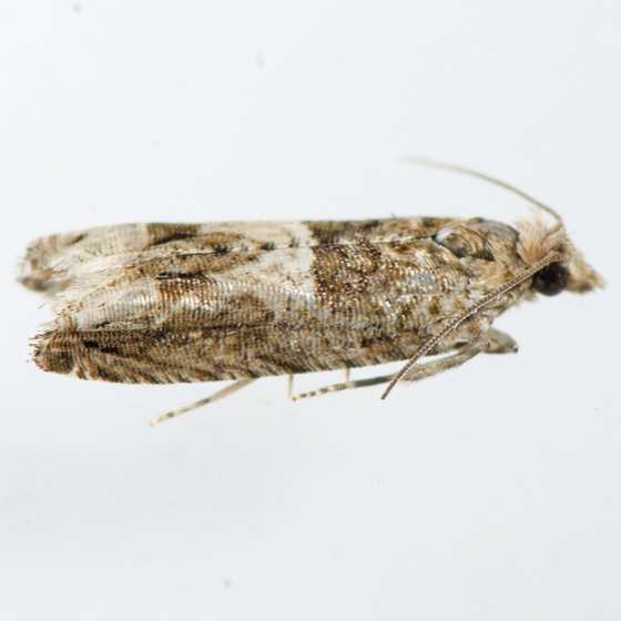 Moth for ID - Crocidosema plebejana