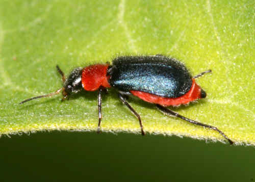 soft-winged flower beetle - Collops tricolor - female