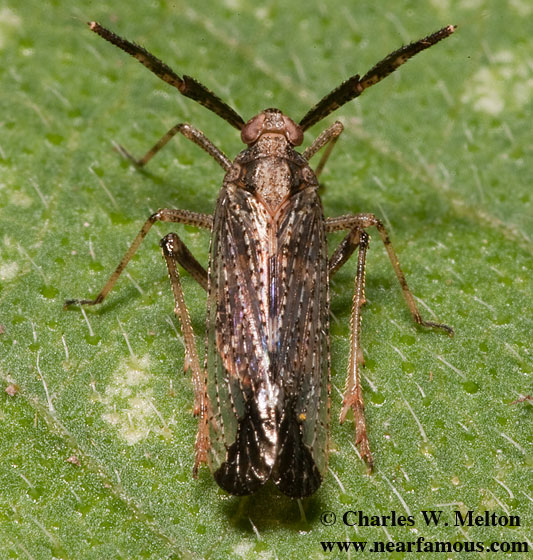 Hopper - Copicerus irroratus