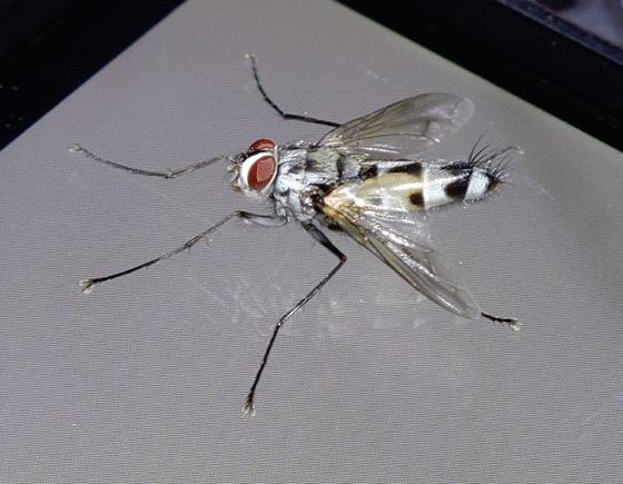 Zelia sp. - Zelia vertebrata - male