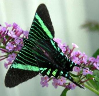 Urania Moth - Urania fulgens