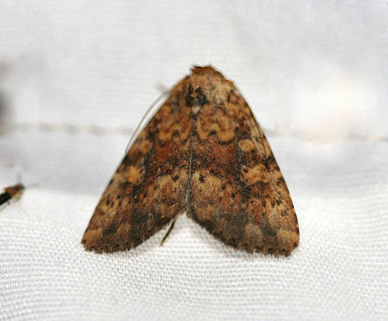 Unknown moth from Blacklighting - Perigea xanthioides