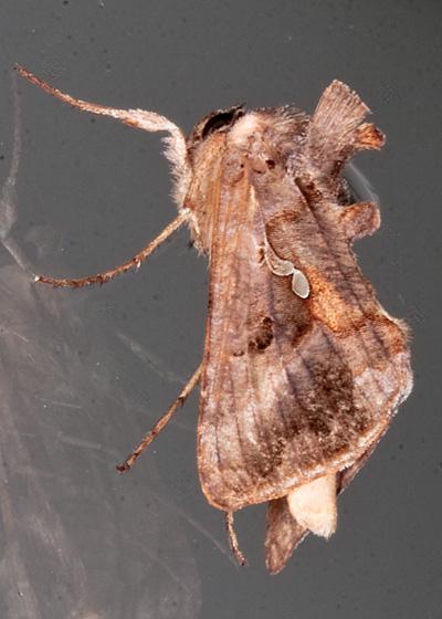 Soybean Looper Moth - Autographa precationis