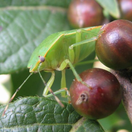 which stink bug - Chinavia hilaris