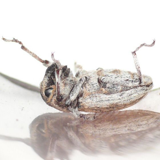 Weevil 10.07.03 - Apleurus angularis