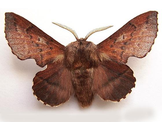 American Lappet Moth - Phyllodesma americana