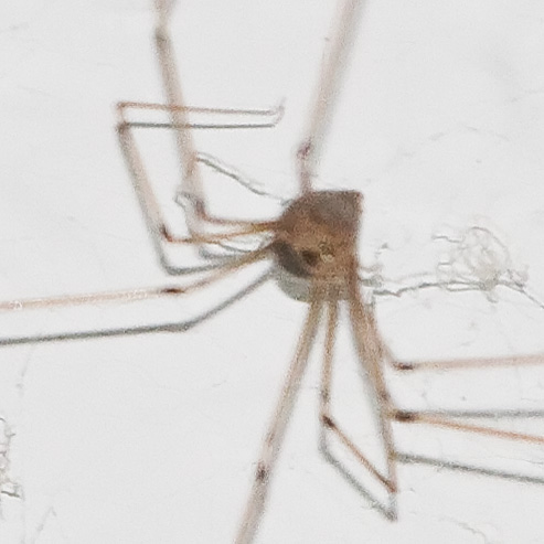 Longbodied Cellar Spider 26 Days After the Eggs Hatched - Pholcus phalangioides - female