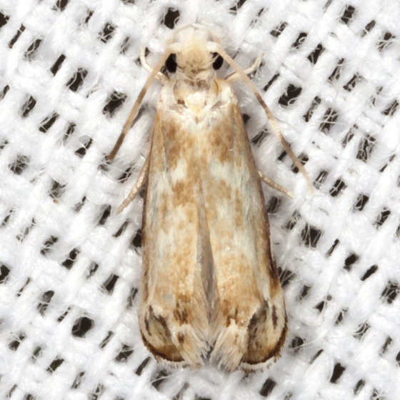 Hawaiian Dancing Moth - Hodges #0307.1 - Dryadaula terpsichorella