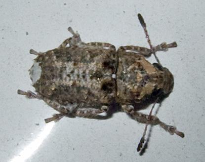 Anthribidae? - Toxonotus fascicularis