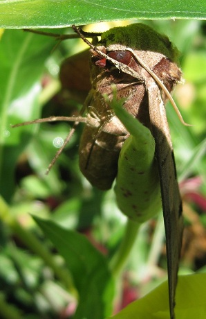 Sphinx on Oenothera sp. - Eumorpha achemon