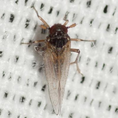 Delphacid Planthopper - Isodelphax basivitta