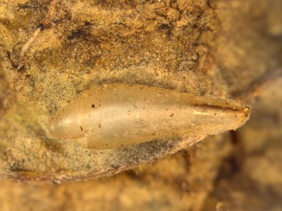 Syrphidae, spent pupa  - Toxomerus geminatus