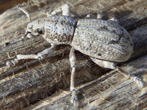 Broad-nosed weevil - Ophryastes