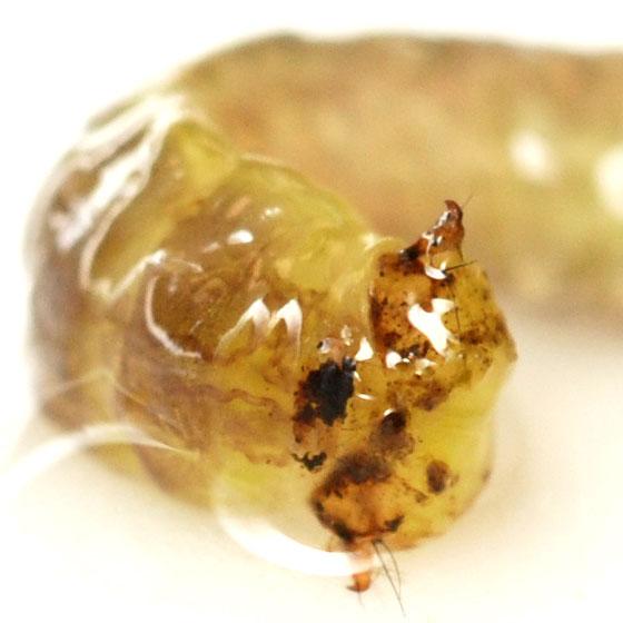 anal hooks, mortarjoint casemaker caddisfly larva - Psilotreta frontalis