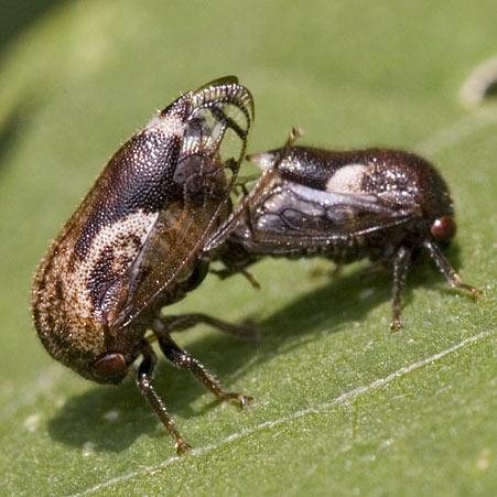 Treehopper - Vanduzea arquata