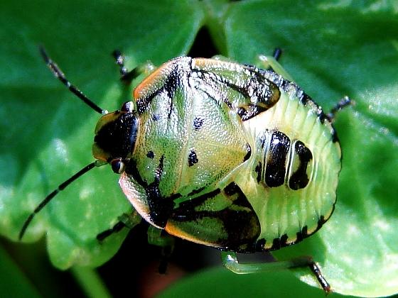 Beautiful little Stink Bug - Chinavia hilaris