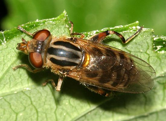 Fly - Lejops lineatus