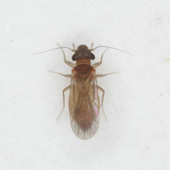 Nanopsocus oceanicus - female