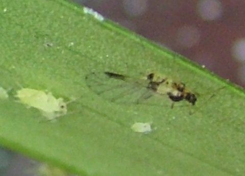 Lily Aphids - Ericaphis