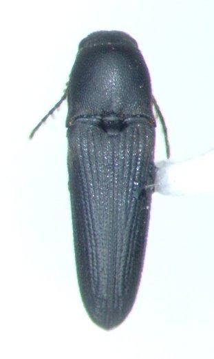 Deltometopus amoenicornis