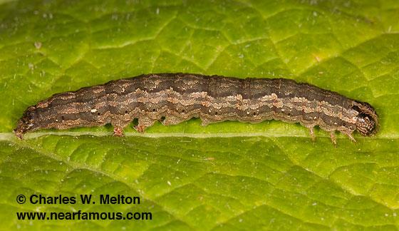 Cissusa n-sp. larva Day 33 - Cissusa valens