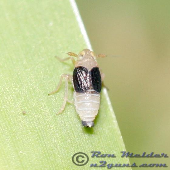 Planthopper 07 - Syndelphax pseudoseminigra
