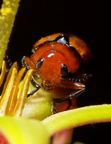 Beetle  - Anomoea laticlavia