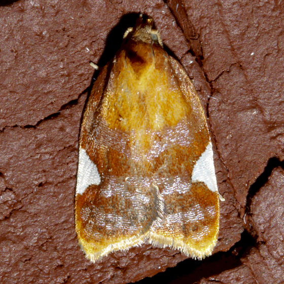 Golden Leafroller - Acleris holmiana