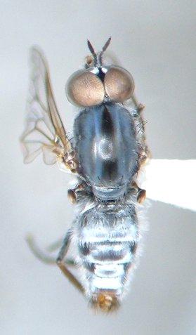 Ozodiceromyia sp. - Ozodiceromyia - male