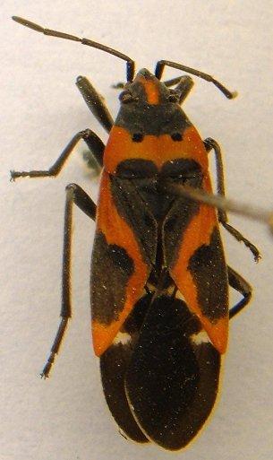 Milkweed bug - Lygaeus kalmii